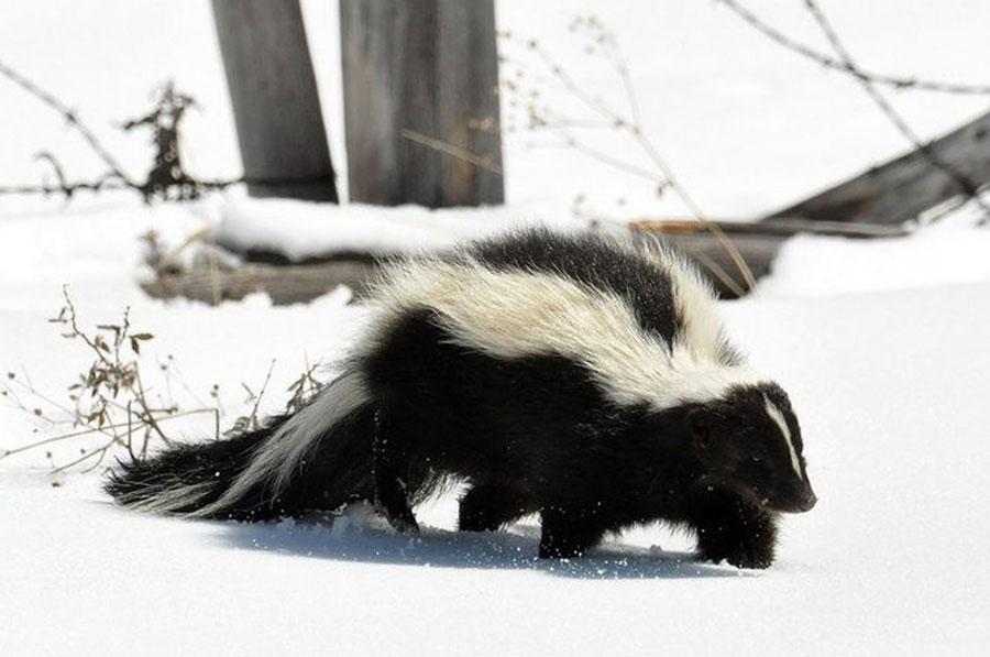 skunk-erin-butler