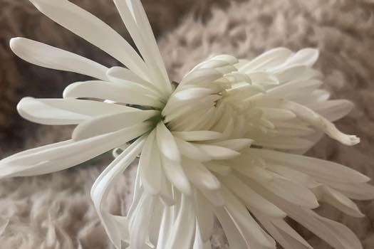 mum-flower-erin-butler-fi